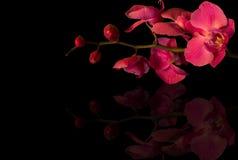 Einzelne Orchideen auf einem schwarzen Hintergrund Lizenzfreies Stockfoto