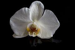 Einzelne Orchideenblume lokalisiert auf schwarzem Hintergrund Stockfoto