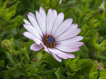 Einzelne Osteospermum-Blume im Garten, afrikanisches Gänseblümchen Lizenzfreies Stockfoto