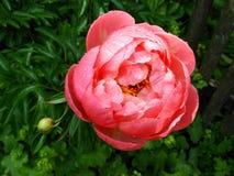 Einzelne Pfingstrosenblume mit Garten der Regentropfen öffentlich Lizenzfreie Stockbilder