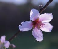 Einzelne Pfirsich-Blüte Stockfotografie