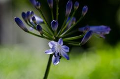 Einzelne purpurrote Agapanthus-Blüten-Arbeitswein-Bauernhof Lizenzfreies Stockbild