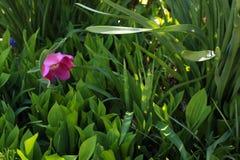 Einzelne purpurrote Blume innerhalb einer sch?nen Landschaft in New-Jersey lizenzfreie stockbilder