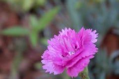 Einzelne purpurrote faszinierende Gartennelke stockfotografie