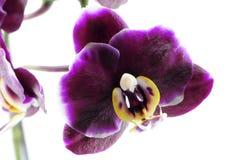Einzelne purpurrote Orchidee Lizenzfreie Stockfotos