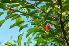 Einzelne reife Kirschfrucht, die an der Niederlassung hängt stockbilder