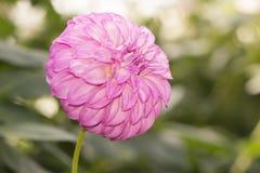 Einzelne rosa Adlerfarn-Folge Dahlia Flower Facing Right Lizenzfreie Stockbilder