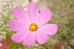 Einzelne rosa Kosmosblume Stockfoto