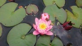 Einzelne rosa Lilie in der Blüte Stockbild