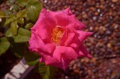 Einzelne rosa Rosen Stockbild