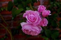 Einzelne rosa Rosen Stockfoto