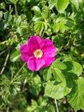Einzelne rosa wilder Hunderosafarbene Blume in einer Hecke stockfotografie