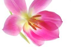 Einzelne rosafarbene Tulpe Stockfotografie