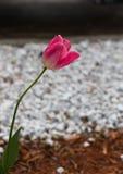 Einzelne rosafarbene Tulpe Stockfoto