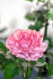 Einzelne Rosarose in einem Garten Stockfoto