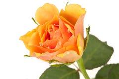 Einzelne Rose Stockfoto