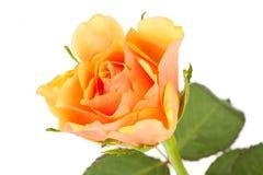 Einzelne Rose Stockfotos
