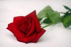 Einzelne Rose lizenzfreie stockfotos