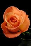 Einzelne Rose auf einem schwarzen Hintergrund stockbilder