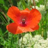 Einzelne rote Mohnblume Lizenzfreies Stockbild