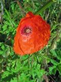 Einzelne rote Mohnblume Stockfoto