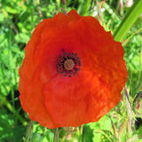 Einzelne rote Mohnblume Stockbild
