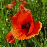 Einzelne rote Mohnblume Stockbilder