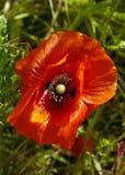 Einzelne rote Mohnblume Stockfotos