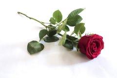 Einzelne rote Rose Stockfotografie
