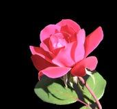 Einzelne rote Rose Stockbild
