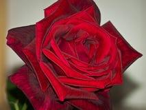 Einzelne rote Rose Stockfoto
