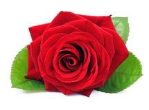 Einzelne rote Rose stockfotos