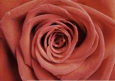 Einzelne rote Rose als Hintergrund, Nahaufnahme schoss, horizontale Ernte stockfoto