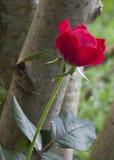 Einzelne rote Rose in der tiefen Schärfentiefe stockbild