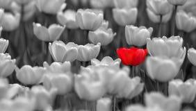 Einzelne rote Tulpe auf dem Gebiet farblos Stockfoto