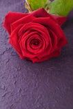 Einzelne Rotrose für Liebe lizenzfreies stockbild