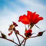 Einzelne Rotrose mit tiefem Hintergrund des blauen Himmels lizenzfreies stockbild