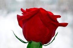 Einzelne Rotrosenblume auf weißem Hintergrund Stockbilder