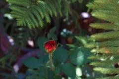 Einzelne Rotrosenknospe im Garten Lizenzfreies Stockfoto