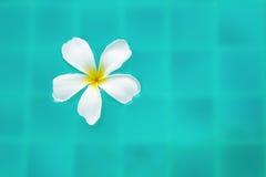 Einzelne ruhige Plumeria-Blume, die auf klares plätscherndes Wasser schwimmt Stockbilder