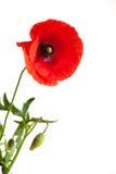 Einzelne schöne rote Mohnblume Stockbilder