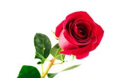Einzelne schöne Rotrose Stockfoto
