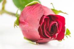 Einzelne schöne Rotrose Stockfotos