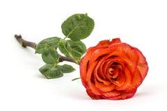 Einzelne schöne Rotrose lizenzfreie stockfotos