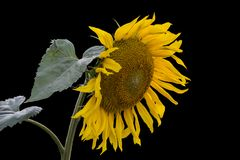 Einzelne schöne Sonnenblume mit den Blättern lokalisiert Stockfotos