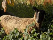 Einzelne Schafe Stockfotos