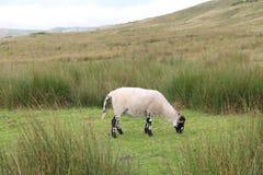 Einzelne Schafe, die auf Ackerland weiden lassen Lizenzfreie Stockbilder