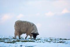 Einzelne Schafe, die auf einem schneebedeckten Abhang weiden lassen Stockbilder
