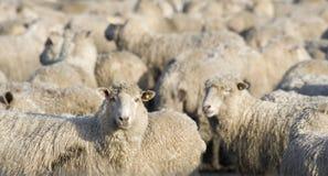 Einzelne Schafe, die Kamera aus Herde heraus betrachten lizenzfreies stockbild