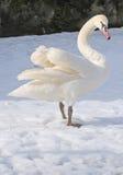 Einzelne Schwanstütze auf Schnee Stockfotos